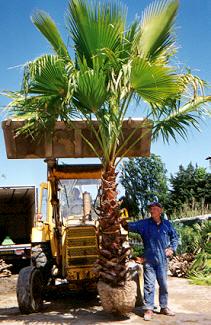 Palmier washingtonia - Palmier hawaien feuilles jaunes ...